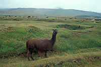 Llama tethered in a field, Andean region of Ecuador