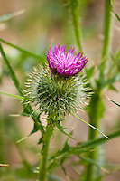 Spear thistle, Scottish thistle, in English country garden, UK