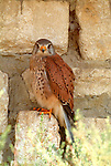Kestrel (Falco tinnunculus) sheltering under eaves of house, by wall, shading from hot sun.France....