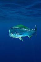 Mahi mahi, Coryphaena hippurus, also known as dorado or dolphinfish. Cat Island, Bahamas, Atlantic Ocean.