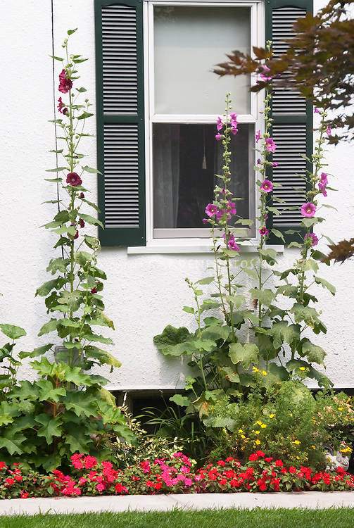 Summer garden next to house under window, with Alcea hollyhocks, impatiens, next to white wall of house and window with green shutters, lawn
