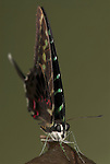 Graphium colonna Butterfly, head on view showing eyes and antennae, swordtail, long tail, on leaf, forest.Africa....