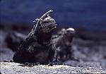 marina iguana with lizard on head