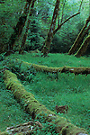 Fallen red alders (Alnus rubra) in the Hoh Rainforest, Olympic National Park, California