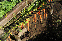 Farm machinery pulls carrots from the ground in a Vanderweele Farm field near Palmer, Alaska.