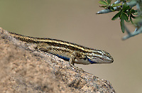 425940001 a wild male plateau fence lizard sceloporus tristichus perches on a large rock at katfish cove grant county new mexico