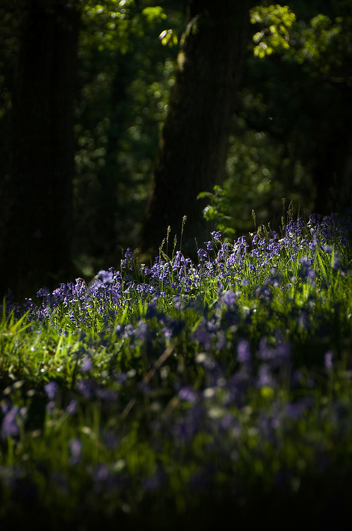 Dappled sunlight shining on blubell flowers in a wooded glade in England