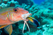 Yellowfin Goatfish, (Mulloidichthys vanicolensis) and an endemic Hawaiian Cleaner Wrasse (Labroides phthirophagus) taking a close look in it's mouth, Hawaii.