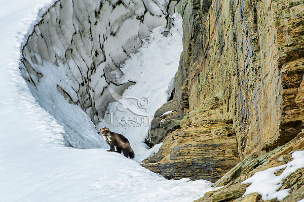 Wild wolverine (Gulo gulo) along edge of late melting snowbank/glacier.  Northern U.S. Rocky Mountains/Glacier National Park, Montana.  October.  Wolverines often use snowbanks or the edge of mountain glaciers to cache food for later use.  This wolverine spent several minutes exploring the gap between the rock wall and the old snow (most of which time I could not see him).