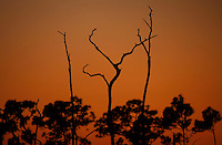 Everglades, Fla. -- Feb. 17, 2007 -- Barren trees stab the horizon at sunset in the Big Cypress National Preserve just north of Everglades National Park on the southern tip of Florida on Saturday, Feb.  17, 2007. (Chip Litherland for The New York Times)