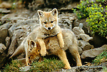 Argentine grey fox kits, Torres del Paine National Park, Chile