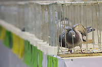 Bird is seen in a cage during the 34th Pigeon Olympiad held in Budapest, Hungary on January 15, 2015. ATTILA VOLGYI