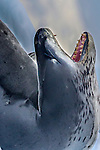 Antarctica , leopard seal
