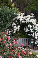 Rosa 'Sally Holmes' white shrub rose flowering around garden bench with hybrid tea rose 'October'