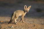 Cape fox cub, Vulpes chama, Kgalagadi Transfrontier Park,Northern Cape, South Africa