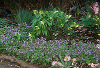 Pulmonaria Fruhlingshimmel &amp; Helleborus hybridus yellow seedling under Camellia, with Galanthus snowdrops in spring bloom