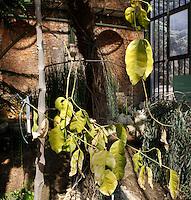Plant History Glasshouse (formerly Australian Glasshouse), 1830s, Rohault de Fleury, Jardin des Plantes, Museum National d'Histoire Naturelle, Paris, France. Detail of Gnetum gnemon leaves in a corner of the glasshouse