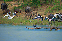 Different species of Water fowl's Birds and wild Water buffalo's in Yala National Park, Wildlife