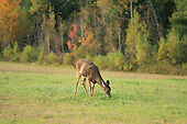 Female whitetail deer eating green grass in hay field along bush in fall. After the hay is cut deer come out of the bush to feast on new hay growth in farmers fields