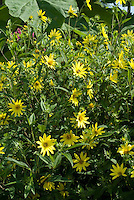 Helianthus Lemon Queen in yellow flowers