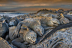 Espinosa Point, Fernandina Island, Galapagos Islands, Ecuador , marine iguana (Amblyrhynchus cristatus)
