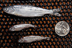 Frozen juvenile salmon, bottom two, from 40 days previous, and top, after 40 days in a rice field on Knaggs Ranch near Woodland, California, March 23, 2013. Research by UC Davis Center for Watershed Sciences, conservation science and advocacy organization California Trout, and the California Department of Water Resources shows that salmon raised in a floodplain have higher growth rates than those in a river or hatchery.