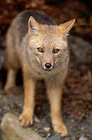 Once Tierra del Fuego's largest land predator, the Fuegian red fox is under severe pressure from invasive mainland foxes and feral dogs.