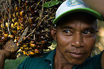 Kota Pari Village near Medan - North Sumatra, Indonesia  Nov. 2008. (Heifer Participant)  Sudarto with a large palm oil fruit harvested from the small plantation behind his house. The price of palm oil has plummeted in the last few months. For many small farmers it is barely worth it to harvest the fruit.