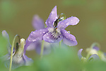 Common Dog Violet, Viola riviniana, soft focus, purple, green, pretty.United Kingdom....