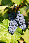 Red grapes in the vineyards of Eger, Hungary.