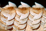 teeth of tiger shark, .Galeocerdo cuvier, .Oahu, Hawaii.