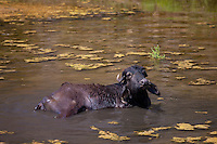 Buffalo wallowing in lake at Ranakpur in Pali District of Rajasthan, Western India