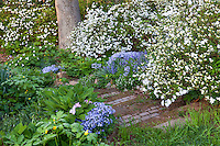White flowering Snow Azalea shrubs (Kurume variety) along hill side steps, spring woodland garden with trillium, native woodland phlox, and bluebells, Boninti Garden, Virginia