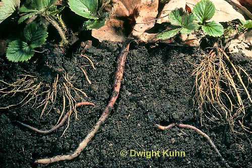 1Y01-170z  Earthworm, crawling through soil