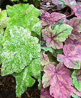 Tiarella Mystic Mist in two stages of foliage leaf color, composite picture