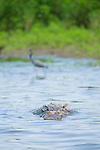 American crocodile, Crocodylus acutus, swimming in the Tarcoles River, Costa Rica.  Behind it is a little blue heron, Egretta caerulea.