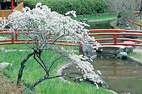 A simple blooming cherry set beside a stream is enought to evoke a sense of spring.