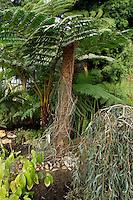Plant History Glasshouse (formerly Australian Glasshouse), 1830s, Rohault de Fleury, Jardin des Plantes, Museum National d'Histoire Naturelle, Paris, France. Low angle view of cyatheales plants.