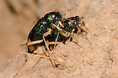 Carolina Metallic Tiger Beetle mating (Tetracha carolina carolina), Lake Texoma, Oklahoma, USA