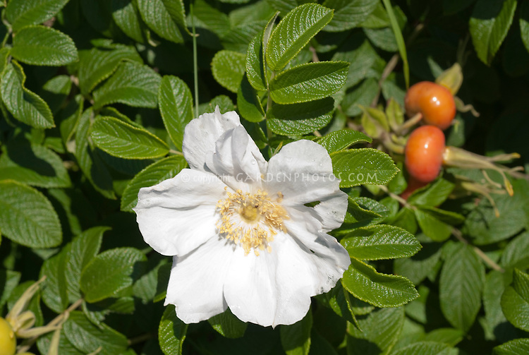 rosa rugosa plant flower stock photography. Black Bedroom Furniture Sets. Home Design Ideas