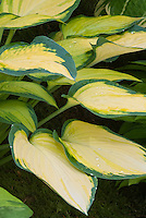 Foliage plant Hosta Orange Marmelade