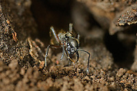 305150003 a wild texas bullet ant genus pachycondyla at the entrance to its colony den on a ranch in the rio grande valley of south texas
