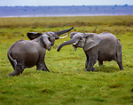African elephants sparring, Amboseli National Park, Kenya