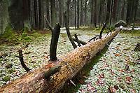Fallen tree in winter forest, Franconia, Bavaria, Germany