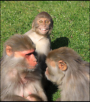 BNPS.co.uk (01202 558833)<br /> Pic: IanTurner/BNPS<br /> <br /> Smile please.<br /> <br /> Macaque attack - cheeky monkey photobombs a picture.<br /> <br /> A jealous macaque has created a hillarious photobomb moment as it trys to gate crash its mum and a younger sibling at the Longleat Safari park in Wiltshire.