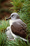 Grey-headed albatross, South Georgia Island