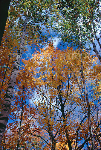 Fall color with birches and maples. Michigan's Upper Peninsula.