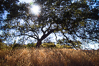 Southern California Oak