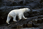 A polar bear walks up a rocky shore after swimming.