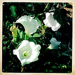 Datura wrightii, sometimes called, Western Jimson weed is poisonous and is sometimes used as a hallicinogen, Joshua Tree National Park, California, USA.